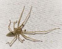 Agrarian Sac Spider
