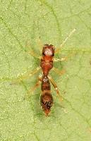 Ant Mimic - Formica