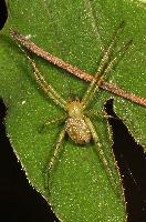 Green Legged Orbweaver