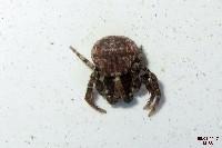 Leaflitter Spider