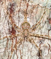 Mexicana Spider