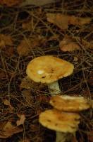 Almond Scented Russula