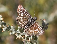 Desert Checkered-Skipper