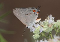Gray Hairstreak Butterfly