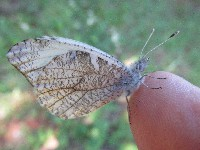 Gray Marble Butterfly