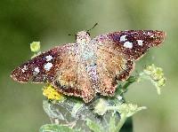 Hammock Skipper Butterfly