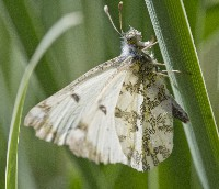 Large Marble Butterfly