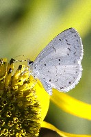 Summer Azure Butterfly