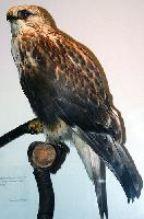 Rough Tailed Hawk